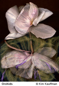 Orchidsphotograph by photographer Kim Kauffman