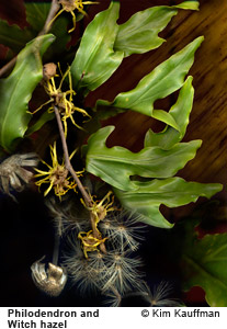 Philodendron and Witch Hazel photograph by photographer Kim Kauffman